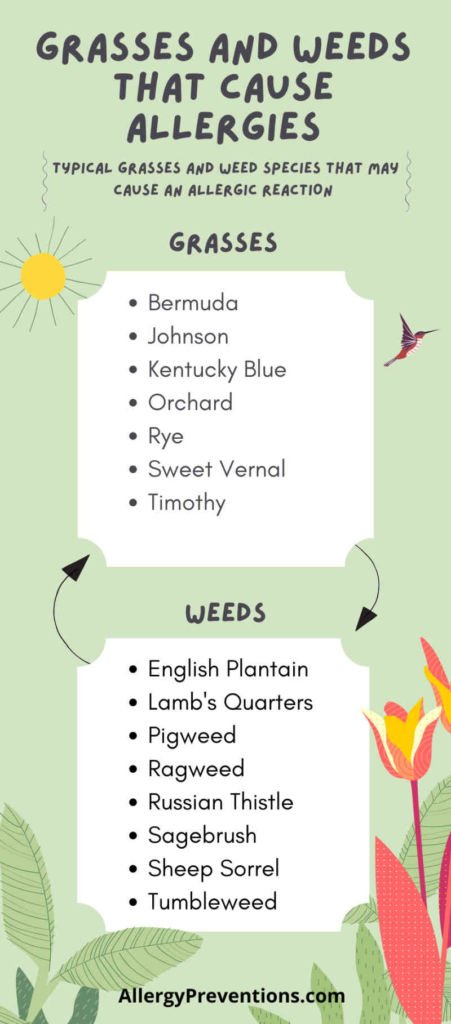 infographic on grasses and weeds that cause allergies. The most common grasses to cause allergy symptoms are: Bermuda, Johnson, Kentucky Blue, Orchard, Rye, Sweet Vernal, and Timothy. Weeds that cause allergic reaction: English Plantain, Lamb's Quarters, Pigweed, Ragweed, Russian Thistle, Sagebrush, Sheep Sorrel, Tumbleweed